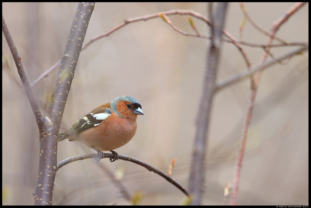 Metsvint, Chaffinch, Fringilla coelebs Remo Savisaar Eesti loodus Estonian Estonia Baltic nature wildlife photography photo blog loodusfotod loodusfoto looduspilt looduspildid