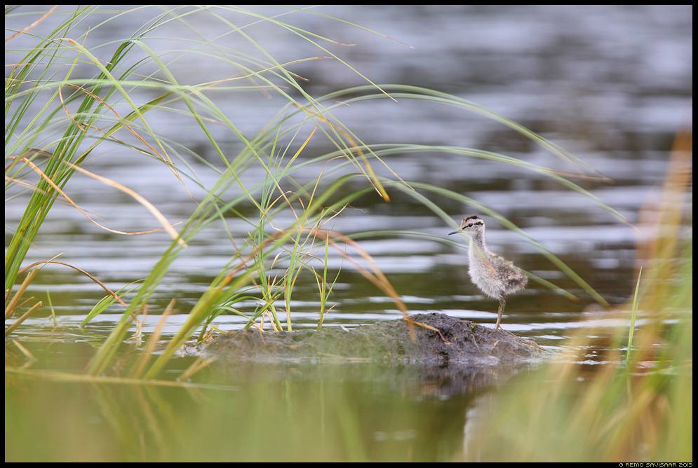 Armas linnulaps, Cute baby bird, Mudatilder, Wood Sandpiper, Tringa glareola raba bog tupp-villpea Remo Savisaar Eesti loodus  Estonian Estonia Baltic nature wildlife photography photo blog loodusfotod loodusfoto looduspilt looduspildid