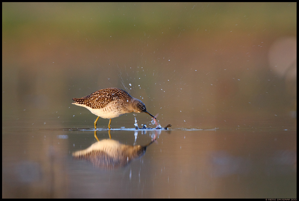 Mudatilder, Wood Sandpiper, Tringa glareola toitumas feeding vesi veekogu peegeldus Remo Savisaar Eesti loodus  Estonian Estonia Baltic nature wildlife photography photo blog loodusfotod loodusfoto looduspilt looduspildid
