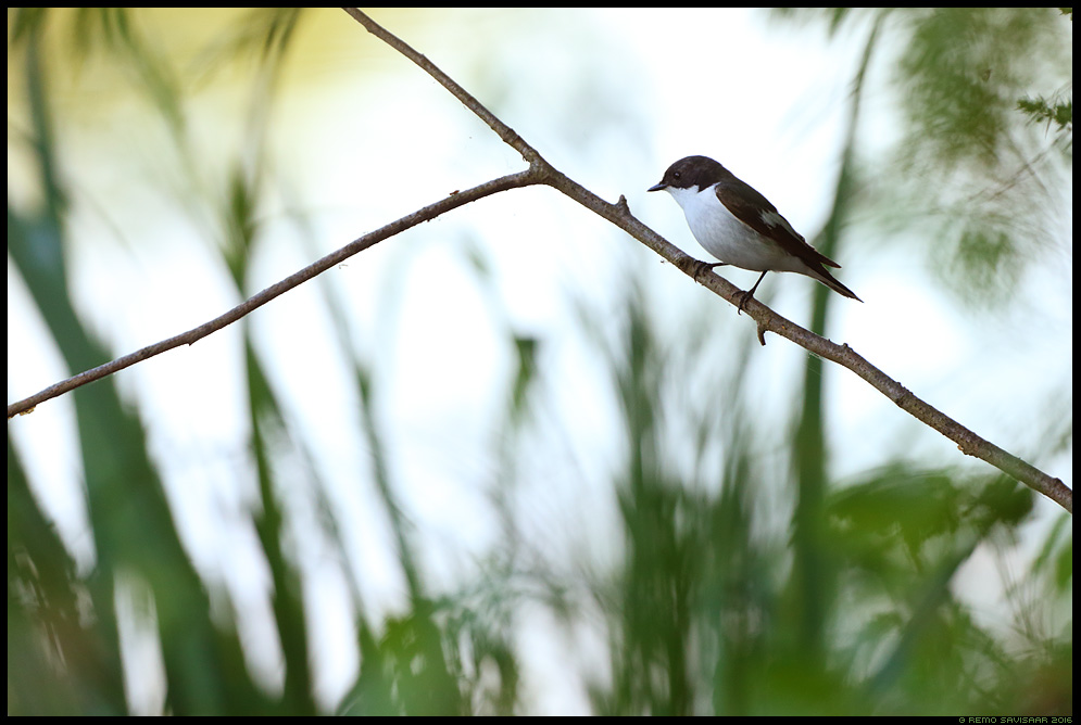 Must-kärbsenäpp, Pied Flycatcher, Ficedula hypoleuca  Remo Savisaar Eesti loodus Estonian Estonia Baltic nature wildlife photography photo blog loodusfotod loodusfoto looduspilt looduspildid