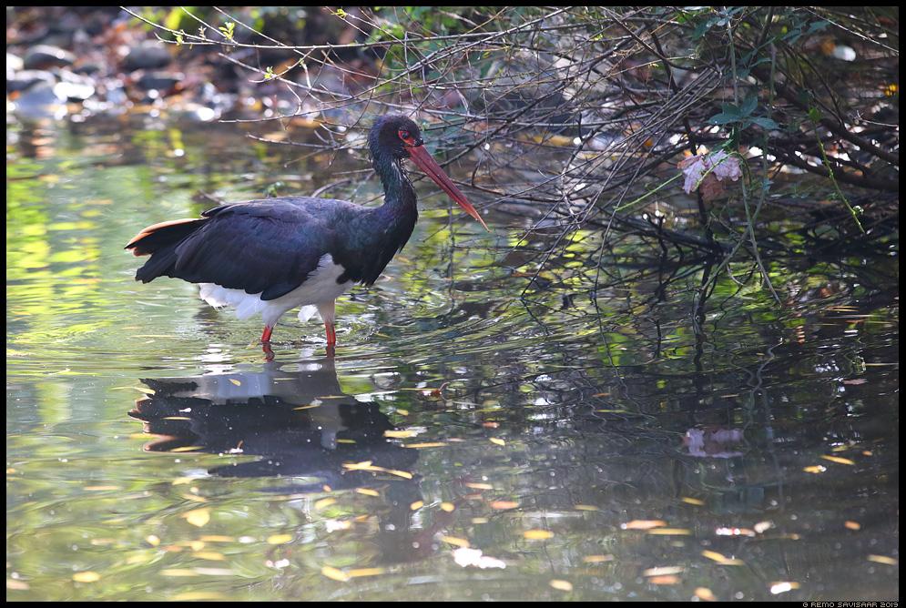 Must-toonekurg, Black Stork, Ciconia nigra Remo Savisaar nature wildlife photography photo blog loodusfotod loodusfoto looduspilt looduspildid