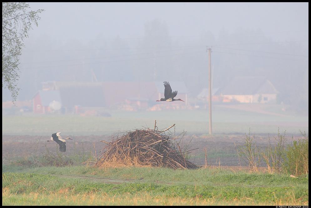 Must-toonekurg, Black Stork, Ciconia nigra Remo Savisaar Eesti loodus  Estonian Estonia Baltic nature wildlife photography photo blog loodusfotod loodusfoto looduspilt looduspildid