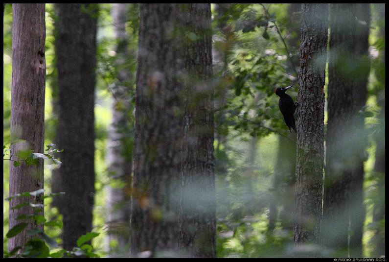 Mustrõõt - Musträhn, Black Woodpecker, Dryocopus martius, puud, mets