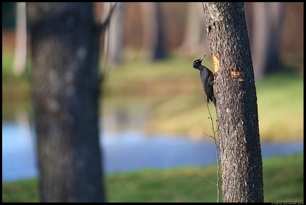 Musträhn, Black Woodpecker, Dryocopus martius Remo Savisaar Eesti loodus  Estonian Estonia Baltic nature wildlife photography photo blog loodusfotod loodusfoto looduspilt looduspildid