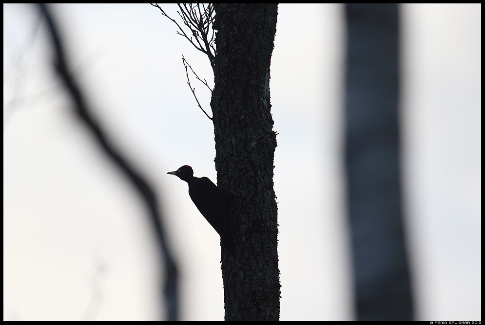 Musträhn, Black Woodpecker, Dryocopus martius Remo Savisaar Eesti loodus Estonian Estonia Baltic nature wildlife photography photo blog loodusfotod loodusfoto looduspilt looduspildid landscape nature wild wildlife nordic