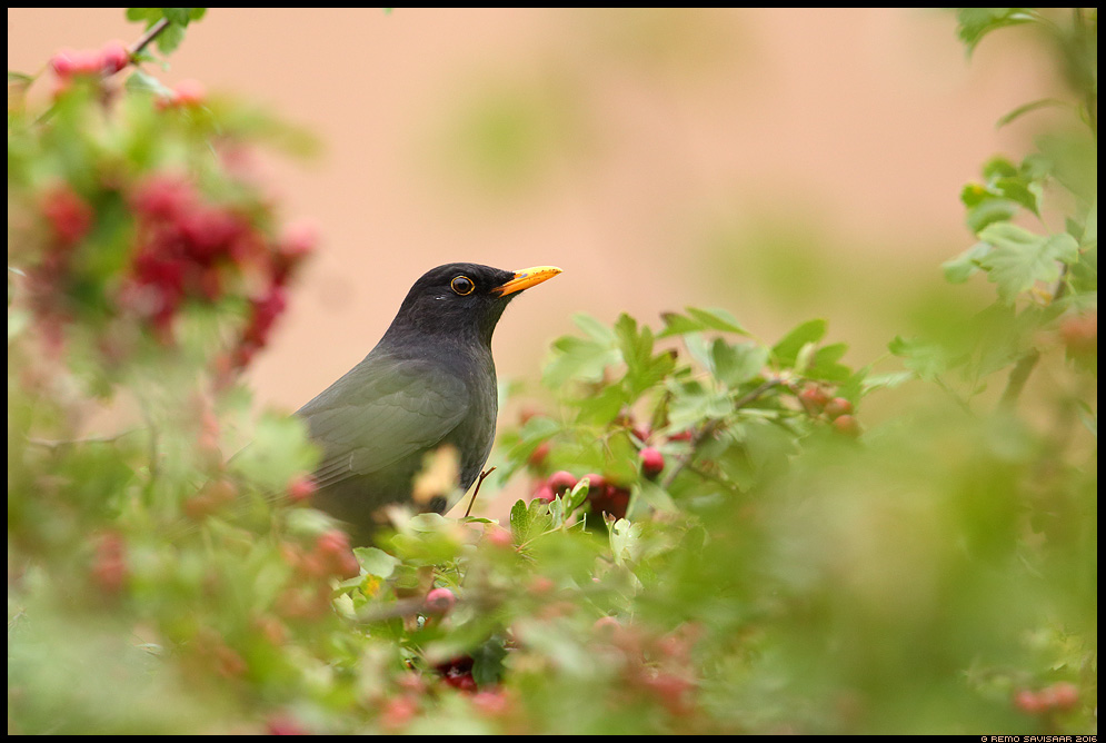 Musträstas, Blackbird, Turdus merula  Remo Savisaar Eesti loodus  Estonian Estonia Baltic nature wildlife photography photo blog loodusfotod loodusfoto looduspilt looduspildid