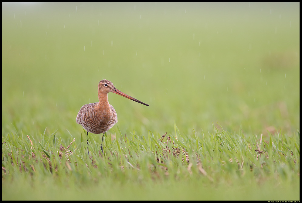 Mustsaba-vigle Black-tailed Godwit Limosa limosa vihm sadu vihmasadu rain rainfall Remo Savisaar Eesti loodus  Estonian Estonia Baltic nature wildlife photography photo blog loodusfotod loodusfoto looduspilt looduspildid