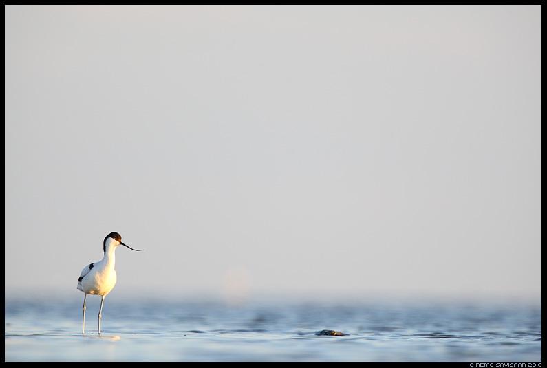 Naaskelnokk, Avocet, Recurvirostra avosetta