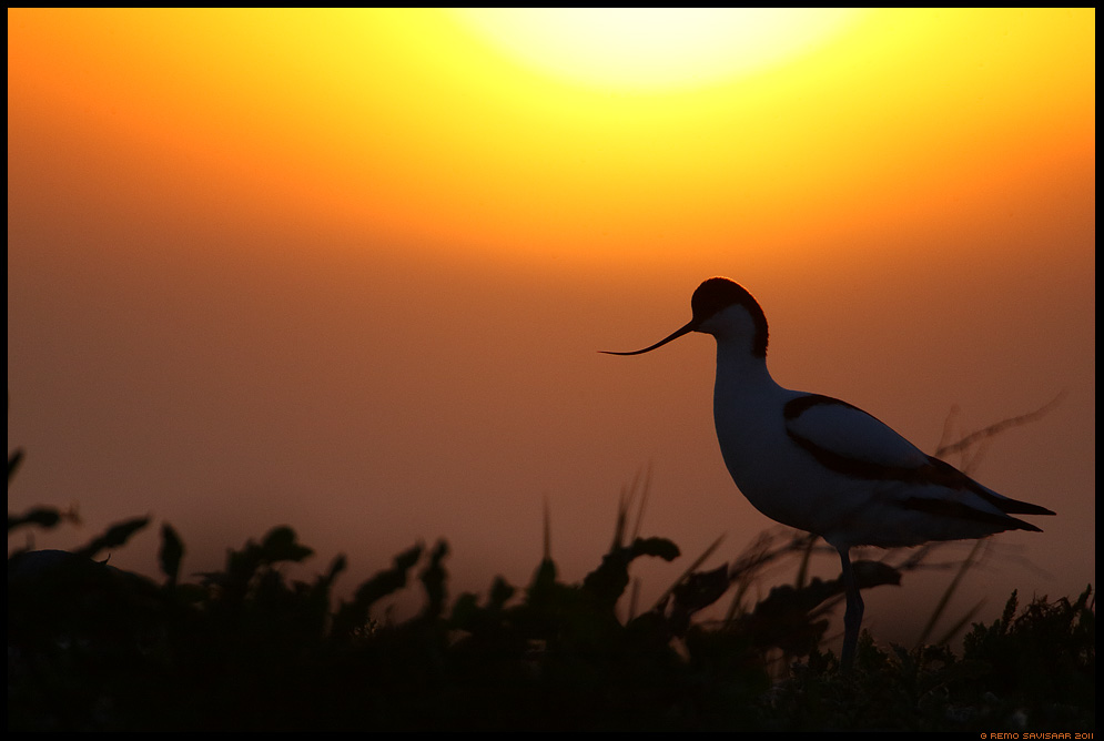 Naaskelnokk, Avocet, Recurvirostra avosetta päikeseloojang sunset Remo Savisaar Eesti loodus Estonian Estonia Baltic nature wildlife photography photo blog loodusfotod loodusfoto looduspilt looduspildid landscape nature wild wildlife nordic