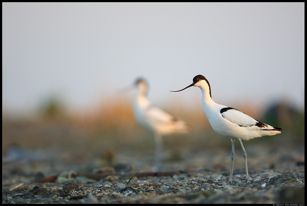 Naaskelnokk, Avocet, Recurvirostra avosetta  Remo Savisaar Eesti loodus Estonian Estonia Baltic nature wildlife photography photo blog loodusfotod loodusfoto looduspilt looduspildid landscape nature wild wildlife nordic