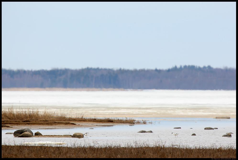 Naaskelnokk, Avocet, Recurvirostra avosetta, kevad, spring, matsalu rahvuspark, keskkond