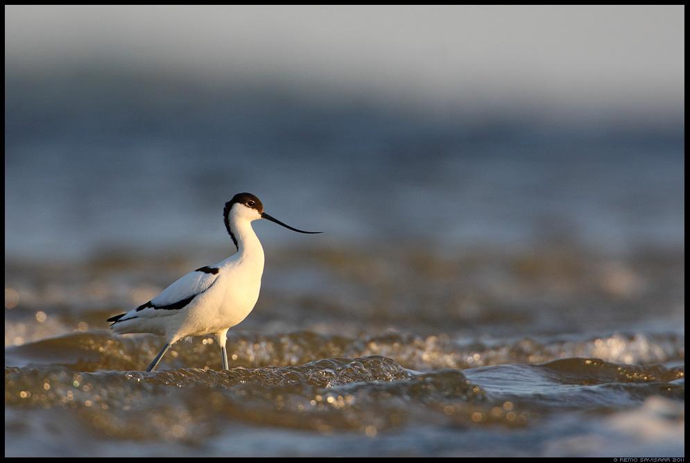 Naaskelnokk, Avocet, Recurvirostra avosetta, meri, sea