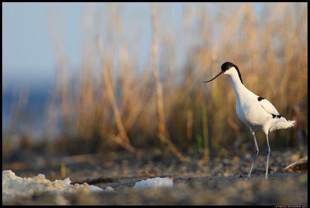 Pikkjalg - Naaskelnokk, Avocet, Recurvirostra avosetta