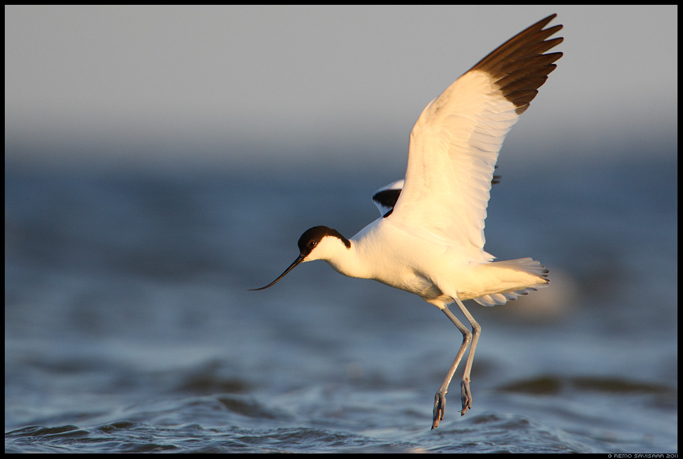Naaskelnokk, Avocet, Recurvirostra avosetta  Remo Savisaar Eesti loodus  Estonian Estonia Baltic nature wildlife photography photo blog loodusfotod loodusfoto looduspilt looduspildid