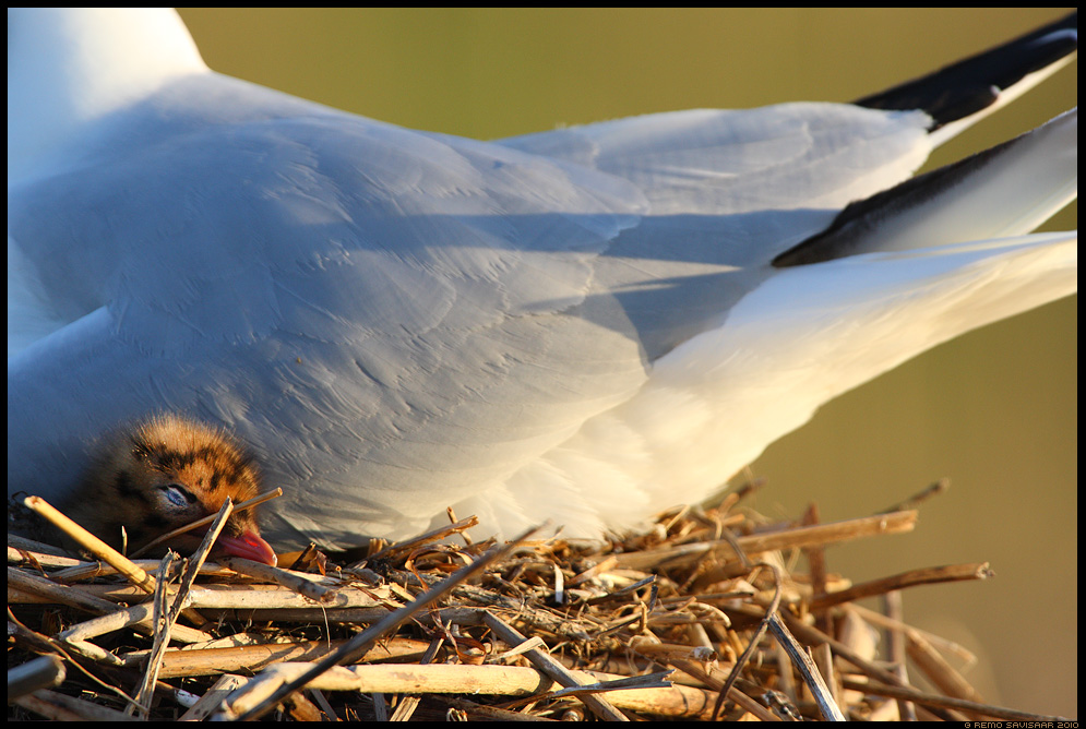Soe koht, Cozy place, Naerukajakas, Black-headed Gull, Larus ridibundus