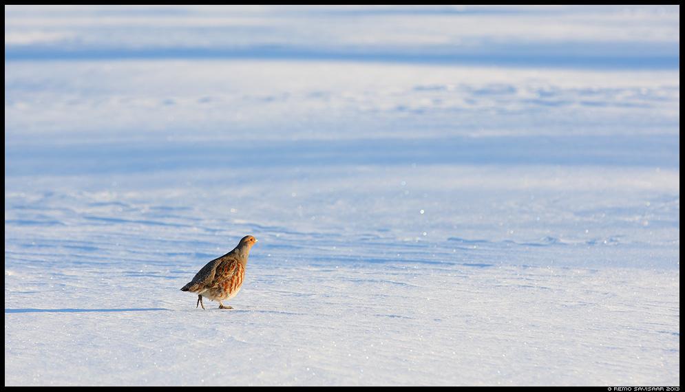 Nurmkana, Grey Partridge, Perdix perdix talv talvine Remo Savisaar Eesti loodus  Estonian Estonia Baltic nature wildlife photography photo blog loodusfotod loodusfoto looduspilt looduspildid
