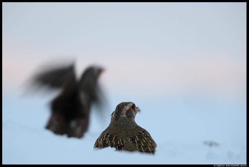 Nurmkana, Grey Partridge, Perdix perdix