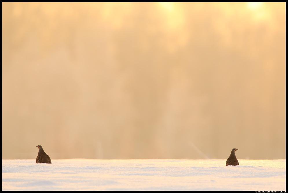 Lumekanad - Nurmkana, Grey Partridge, Perdix perdix  Remo Savisaar Eesti loodus Estonian Estonia Baltic nature wildlife photography photo blog loodusfotod loodusfoto looduspilt looduspildid