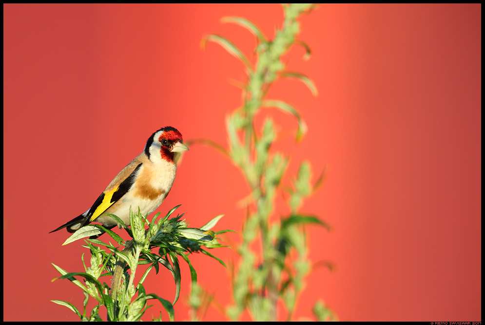 Ohakalind, Goldfinch, Carduelis carduelis  ohakas takjas toitumas Remo Savisaar Eesti loodus  Estonian Estonia Baltic nature wildlife photography photo blog loodusfotod loodusfoto looduspilt looduspildid