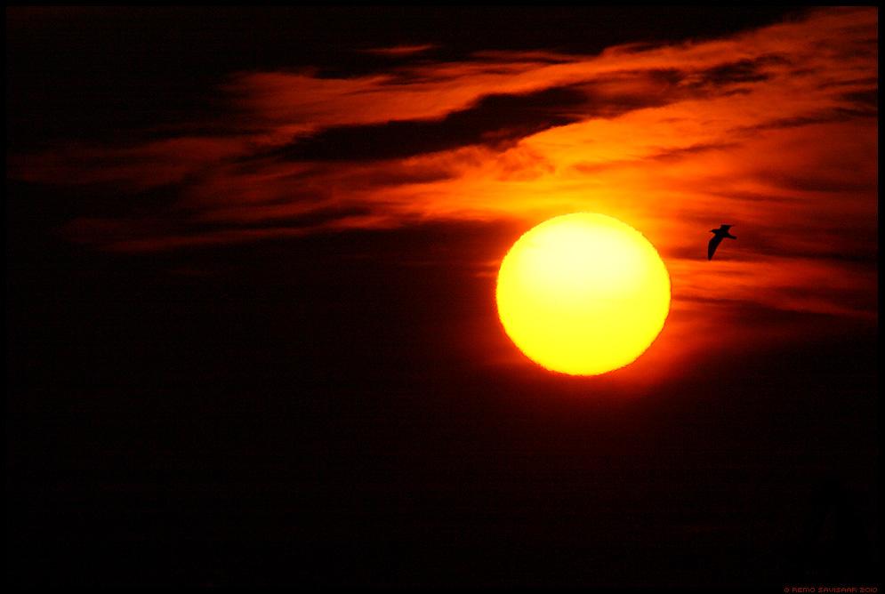 Üle päikese, Over the Sun, kajakas, gull, päike, sun, päikeseloojang, sunset