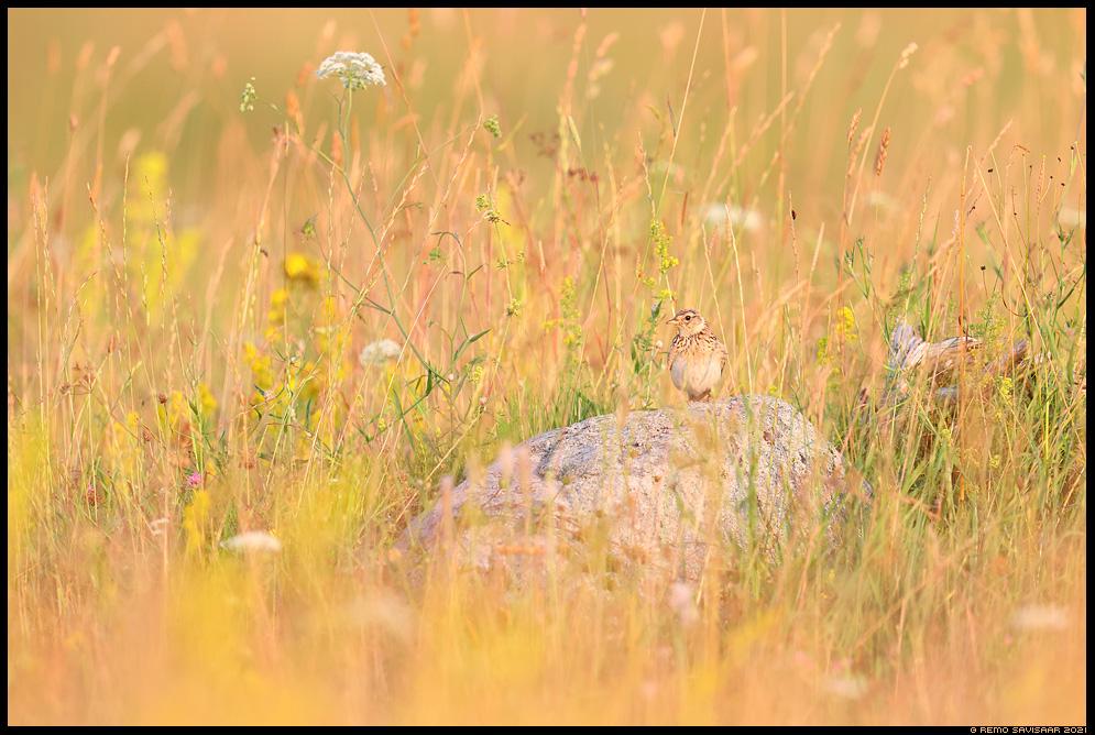 Põldlõoke, Skylark, Alauda arvensis  Remo Savisaar Eesti loodus  Estonian Estonia Baltic nature wildlife photography photo blog loodusfotod loodusfoto looduspilt looduspildid