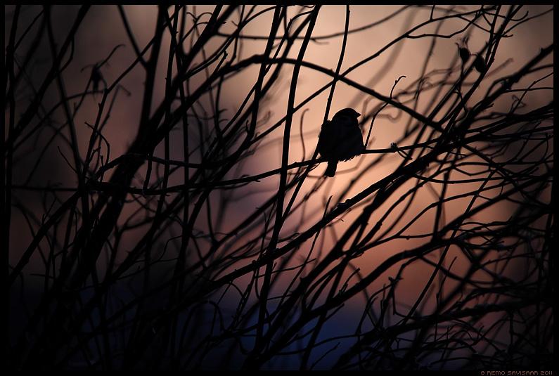 Põldvarblane, Tree Sparrow, Passer montanus, õhtu, siluett, hämar, päikeseloojang