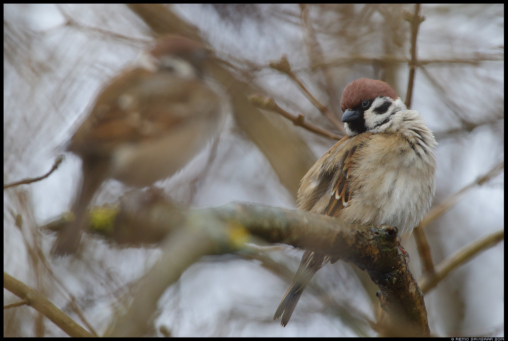 Põldvarblane, Tree Sparrow, Passer montanus  Remo Savisaar Eesti loodus Estonian Estonia Baltic nature wildlife photography photo blog loodusfotod loodusfoto looduspilt looduspildid