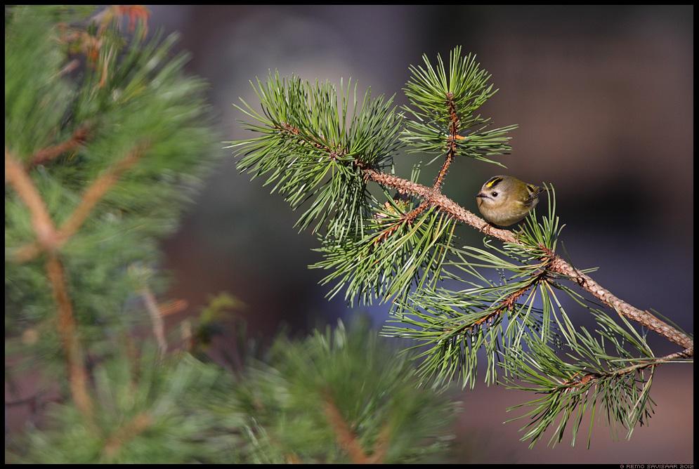 Pöialpoiss, Goldcrest, Regulus regulus, mänd, männil, pine tree