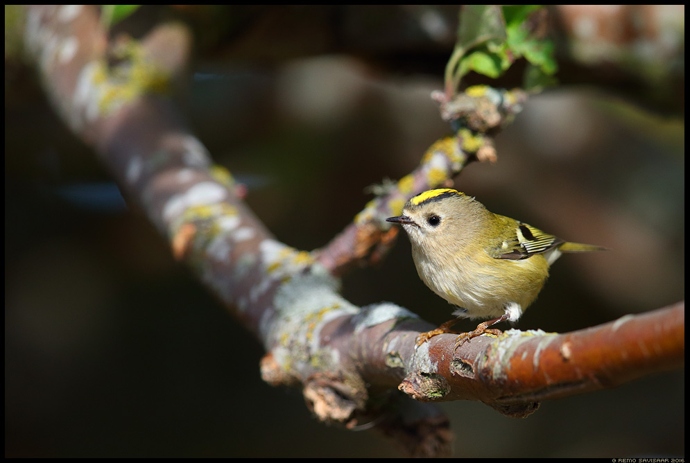 Pöialpoiss, Goldcrest, Regulus regulus Remo Savisaar Eesti loodus  Estonian Estonia Baltic nature wildlife photography photo blog loodusfotod loodusfoto looduspilt looduspildid