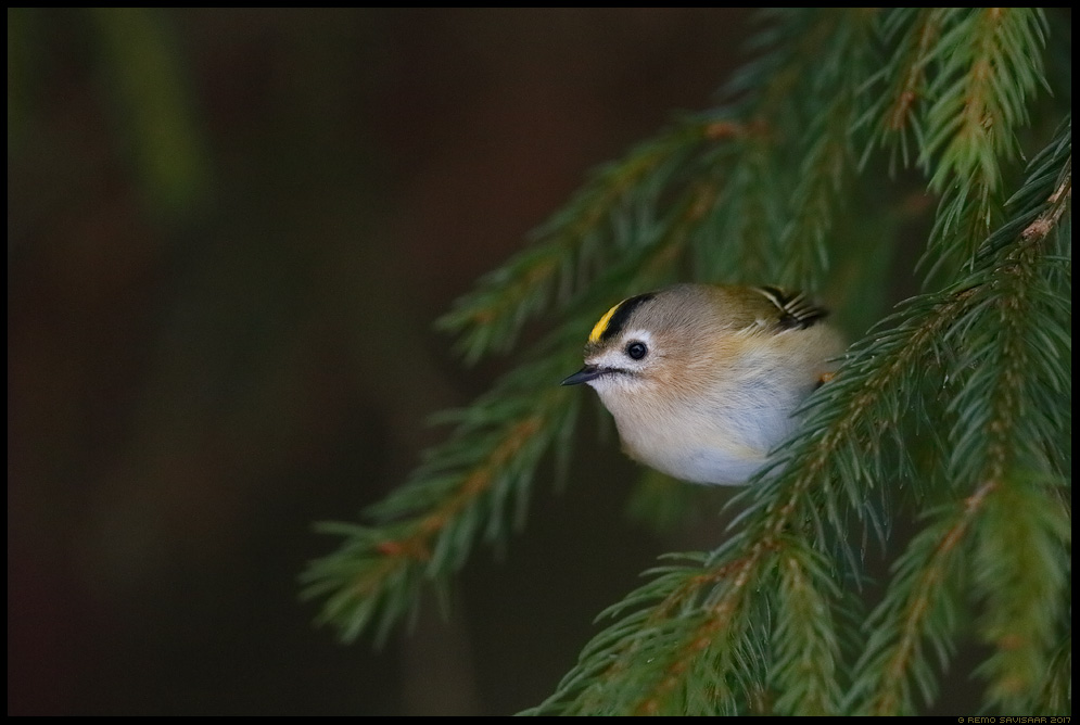 Pöialpoiss, Goldcrest, Regulus regulus kuusik Remo Savisaar Eesti loodus  Estonian Estonia Baltic nature wildlife photography photo blog loodusfotod loodusfoto looduspilt looduspildid