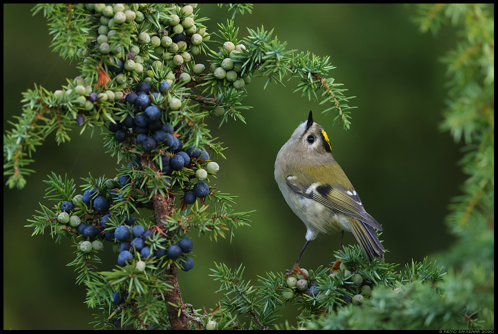 Pöialpoiss, Goldcrest, Regulus regulus kadakas kadakamarjad juniper Remo Savisaar Eesti loodus  Estonian Estonia Baltic nature wildlife photography photo blog loodusfotod loodusfoto looduspilt looduspildid