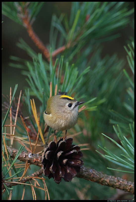 Pöialpoiss, Goldcrest, Regulus regulus mänd pine männikäbi pinecone Remo Savisaar Eesti loodus  Estonian Estonia Baltic nature wildlife photography photo blog loodusfotod loodusfoto looduspilt looduspildid
