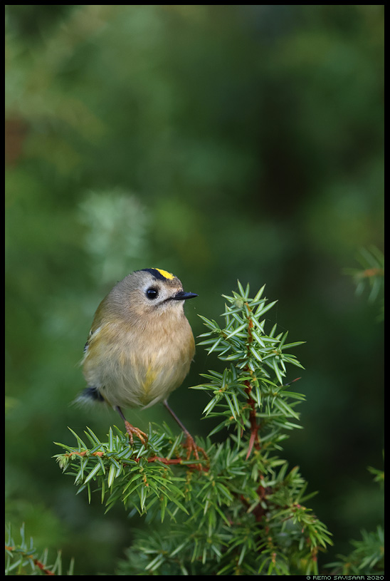 Pöialpoiss, Goldcrest, Regulus regulus kadakas Remo Savisaar Eesti loodus  Estonian Estonia Baltic nature wildlife photography photo blog loodusfotod loodusfoto looduspilt looduspildid
