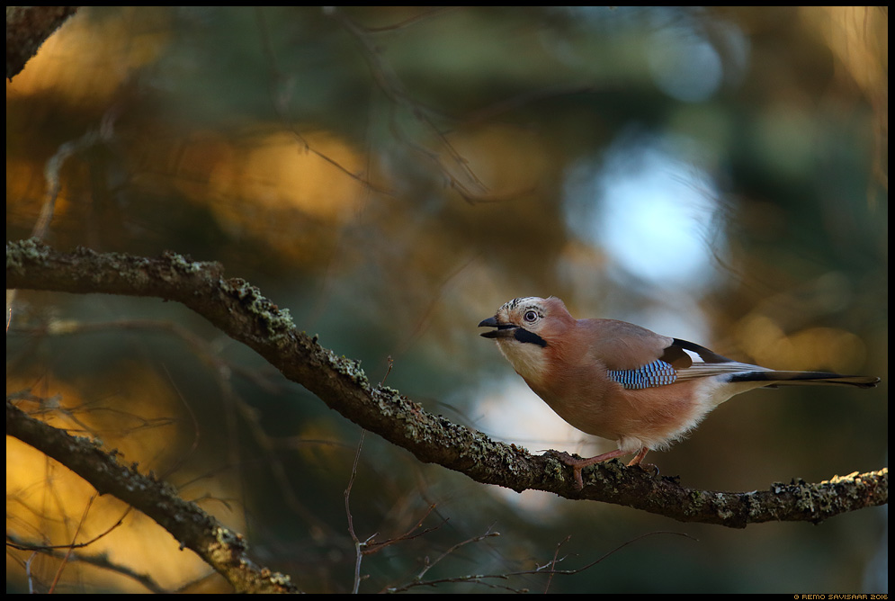 Pasknäär, Jay, Garrulus glandarius  Remo Savisaar Eesti loodus  Estonian Estonia Baltic nature wildlife photography photo blog loodusfotod loodusfoto looduspilt looduspildid