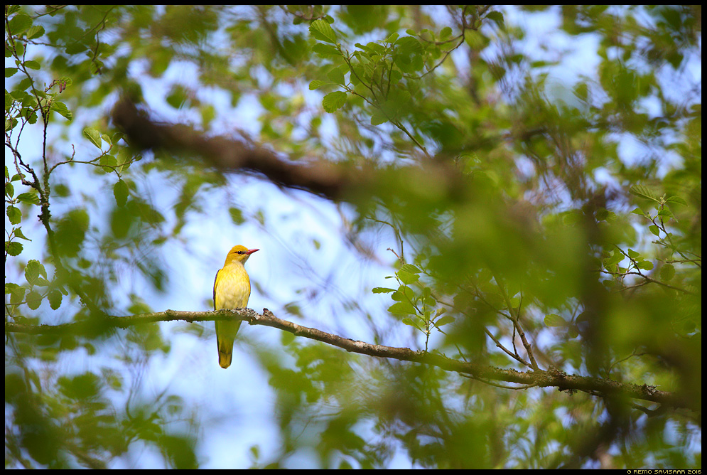 Peoleo, Golden Oriole, Oriolus oriolus Remo Savisaar Eesti loodus Estonian Estonia Baltic nature wildlife photography photo blog loodusfotod loodusfoto looduspilt looduspildid