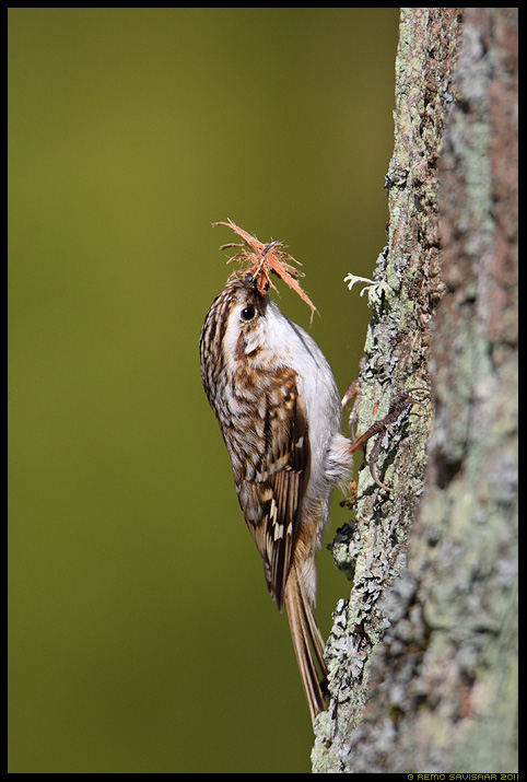 Porr, Treecreeper, Certhia familiaris
