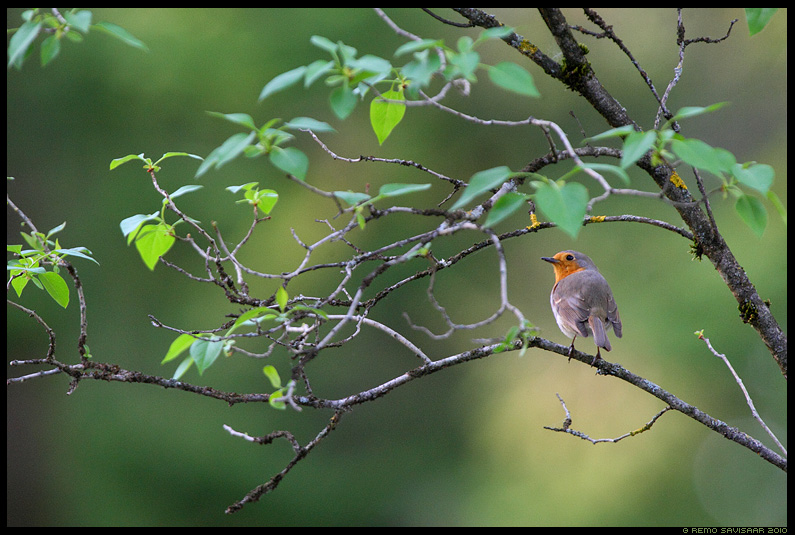 Punarind, European Robin, Erithacus rubecula