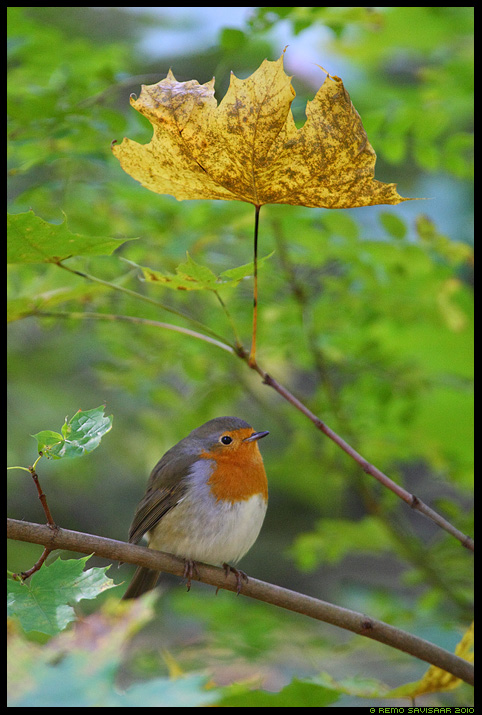 Punarind, European Robin, Erithacus rubecula, vihmavari, sügis