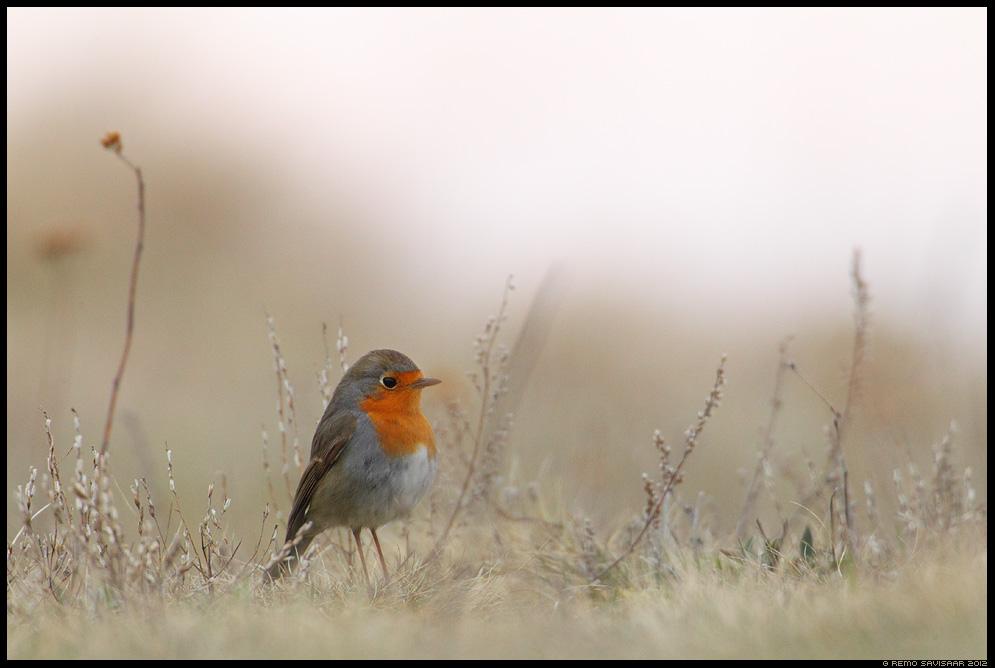 Punarind, European Robin, Erithacus rubecula