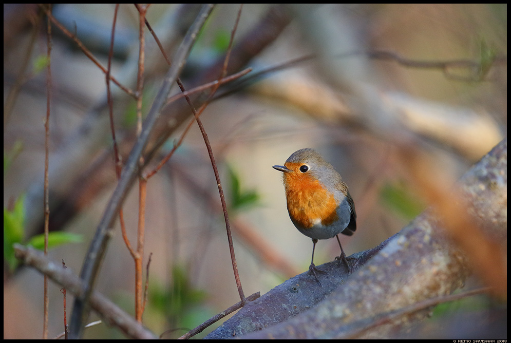 Punarind, European Robin, Erithacus rubecula  Remo Savisaar Eesti loodus  Estonian Estonia Baltic nature wildlife photography photo blog loodusfotod loodusfoto looduspilt looduspildid