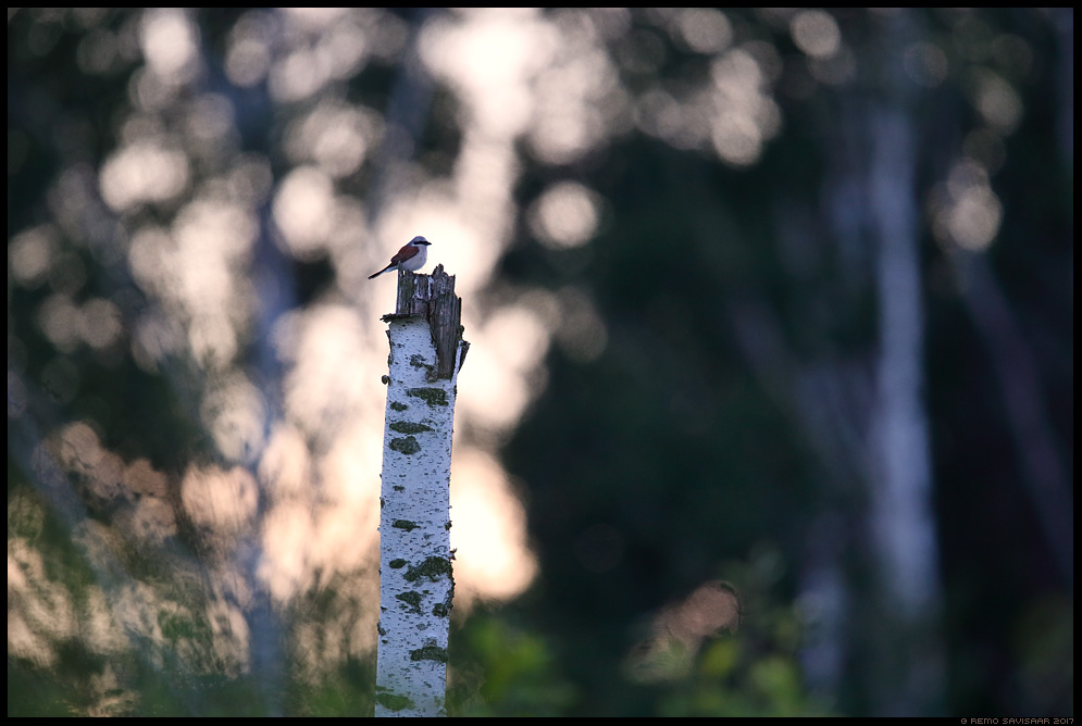 Punaselg-õgija, Red-backed Shrike, Lanius collurio  Remo Savisaar Eesti loodus Estonian Estonia Baltic nature wildlife photography photo blog loodusfotod loodusfoto looduspilt looduspildid landscape nature wild wildlife nordic
