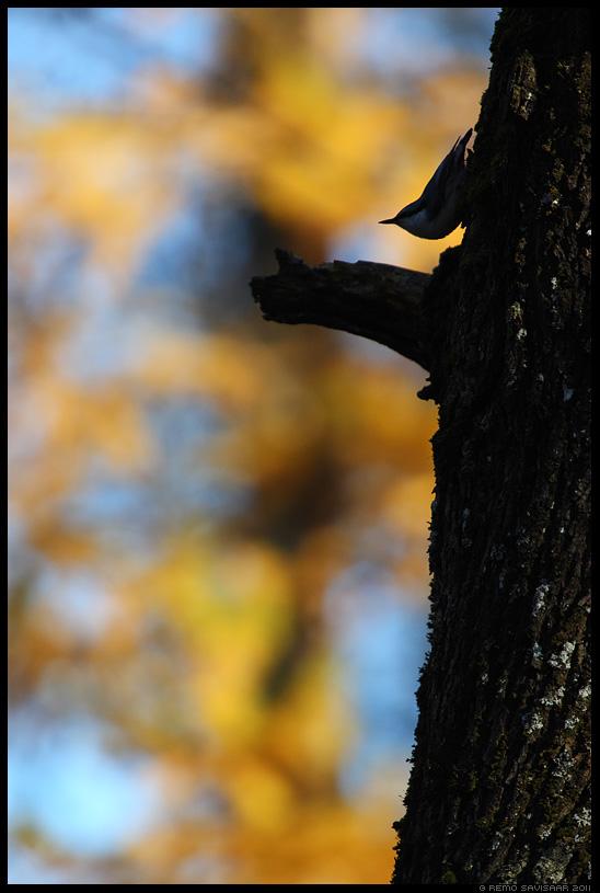 Puukoristaja, Nuthatch, Sitta europaea , sügis, autumn, fall