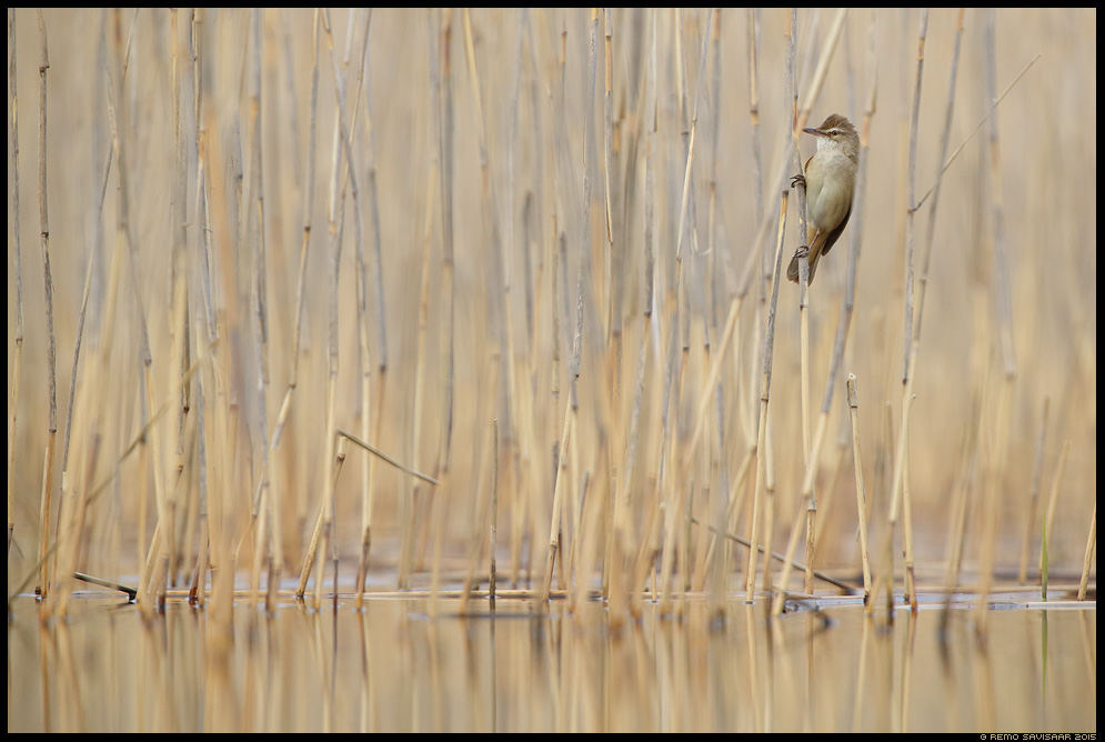 Rästas-roolind, Great Reed Warbler, Acrocephalus arundinaceus Remo Savisaar Eesti loodus  Estonian Estonia Baltic nature wildlife photography photo blog loodusfotod loodusfoto looduspilt looduspildid