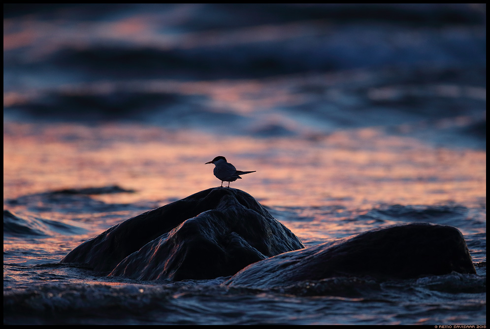 Randtiir, Arctic Tern, Sterna paradisaea hiiumaa kõpu päikeseloojang sunset läänemeri baltic sea Remo Savisaar Eesti loodus Estonian Estonia Baltic nature wildlife photography photo blog loodusfotod loodusfoto looduspilt looduspildid landscape nature wild wildlife nordic