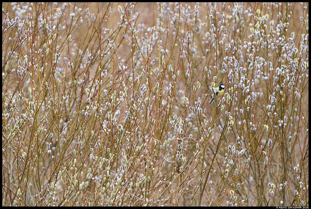 Rasvatihane, Great Tit, Parus major paju pajutibud kevad põõsas willow Remo Savisaar Eesti loodus  Estonian Estonia Baltic nature wildlife photography photo blog loodusfotod loodusfoto looduspilt looduspildid