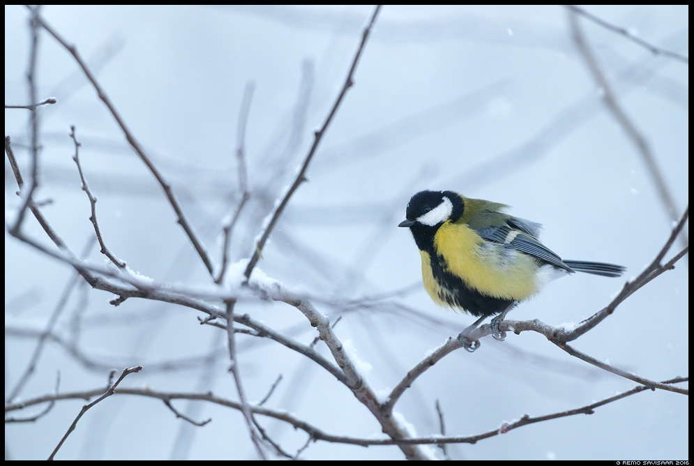 Rasvatihane, Great Tit, Parus major Remo Savisaar Eesti loodus  Estonian Estonia Baltic nature wildlife photography photo blog loodusfotod loodusfoto looduspilt looduspildid