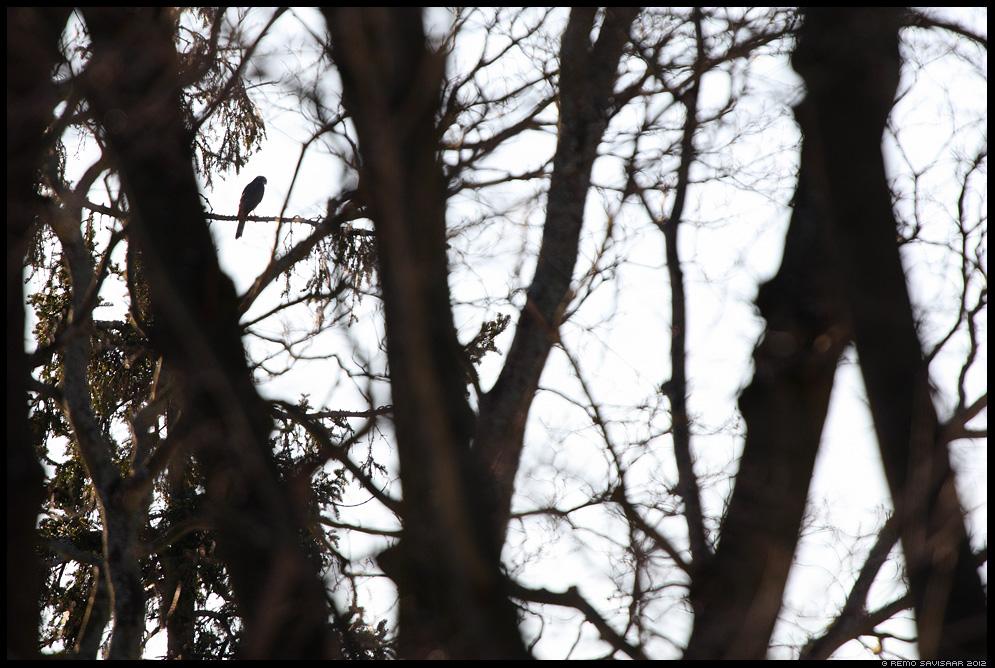 Röövel - Raudkull, Sparrowhawk, Accipiter nisus