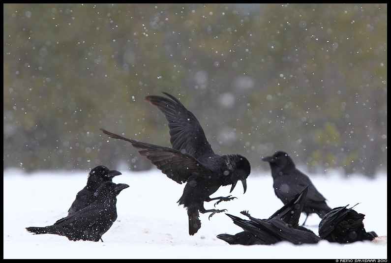 Ronk, Raven, Corvus corax