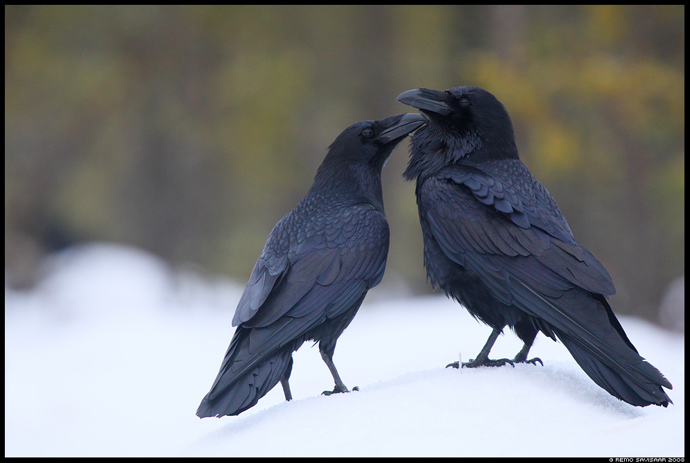 Õhus on armastust, Love is in the Air Ronk, Raven, Corvus corax Remo Savisaar nature wildlife photography photo blog loodusfotod loodusfoto looduspilt looduspildid