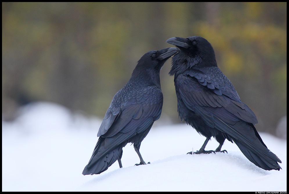 Õhus on armastust, Love is in the Air Ronk, Raven, Corvus corax Remo Savisaar nature wildlife photography photo blog loodusfotod loodusfoto looduspilt looduspildid